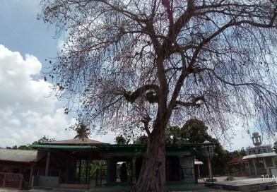 Temple Energised Arasa (Bodhi) Tree