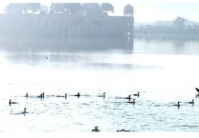Jal Mahal, Great Cormorants