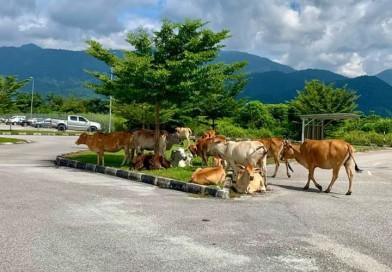 Cows In Kampar